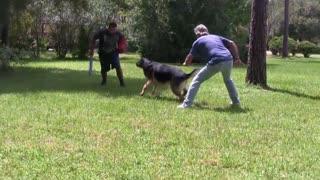 Guard Dog Training easly