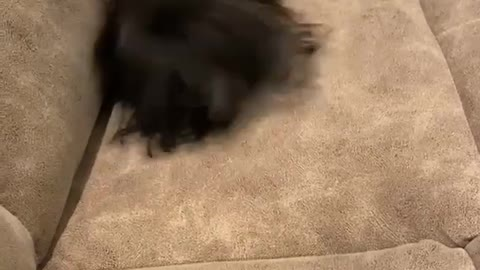 Yorkie has incredible case of zoomies after taking a bath