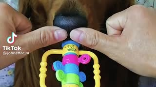 Cute & Funny Dog Playing Musical Instrument   Try not to laugh  