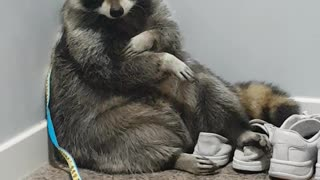 Raccoon sitting like a man at the front door.
