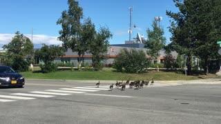 Geese Crossing the Street
