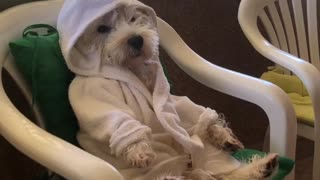 Robe-wearing Westie chills out on the balcony