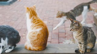 Three cat plus one cat walk cross always