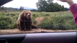 Polite Bear Says Hello To People