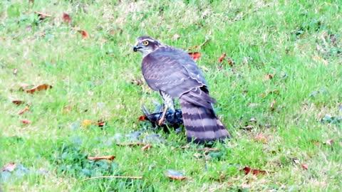 Goshawk Eating Starling Alive. Disturbing Nature
