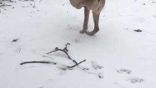 Two Legged Dog Takes a Stroll Through the Snow