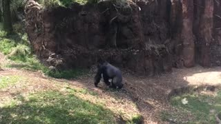 Gorilla just wanted some privacy