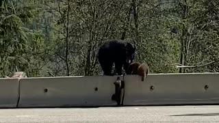 Bear Cub Learning How to Climb Barrier