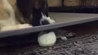 Brown white dog white ball under bed
