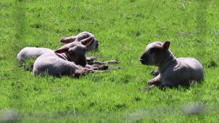 Triplets Sheep Resting On Grass lunch Resting