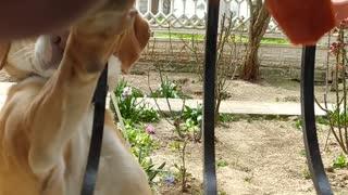 Dog loves carrots