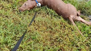 Golden retriever puppy loves the mud.
