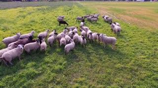 Harvest Haven Lamb