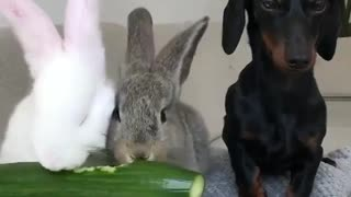 The dog watches rabbits eat