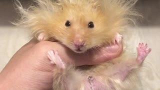 Hamster rocks hilarious lion-styled hairdo