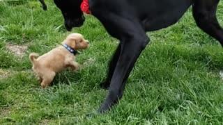 Great dane meeting puppy