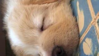 Brown puppy sleeping on blue carpet