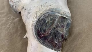 Seal With Huge Shark Bite Washes up on Sydney Beach