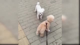 bulldog dogs
