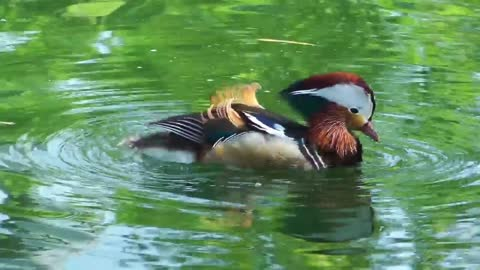 Duck drinking water in the lake - With quiet music