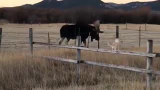 Doggy and Moose Meet at Fence