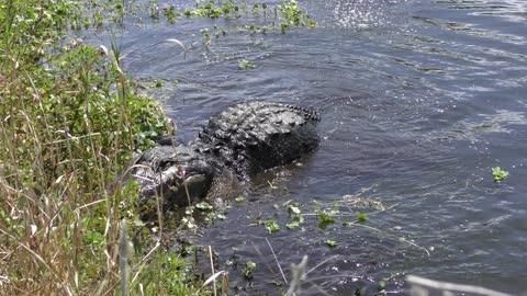 alligator jumps after fish in a lake