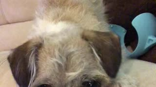 Two dogs growl when they look at phone screen