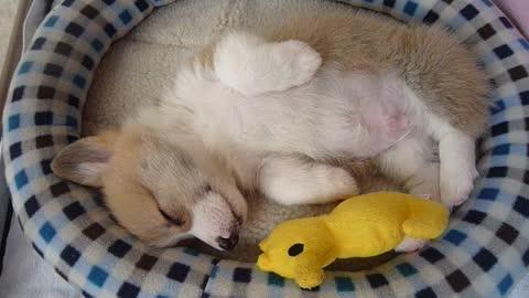 Sleeping Baby Corgi Puppy