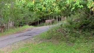 Deer Walking Around