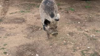 Henry The Pig