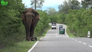 Wild Elephant crossing Road