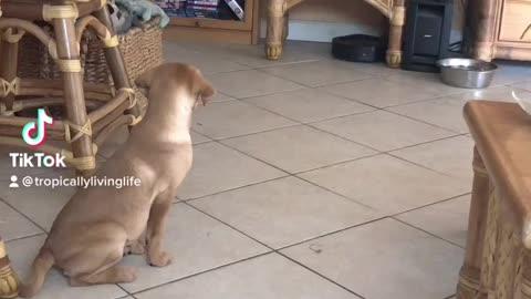 Daisy discovers the Roomba!
