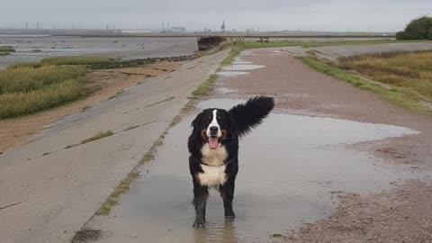 Bernese Mountain Dog enjoying puddles