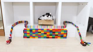 Cats and Domino cats