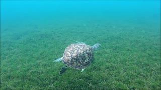 Beautiful Sea Turtle Swims Along the Sea Floor