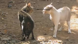cats fighting funny