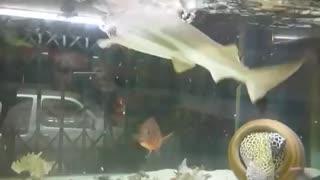 Shark feeding By Nut Aquarium