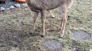 Friendly Deer Enjoys Oatmeal Cookies