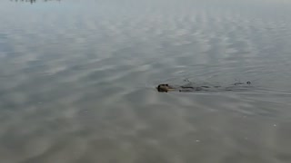 beaver on the river