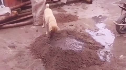 This puppy how to run on the construction site to work