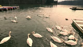 White Goose family fight over small fishes in water