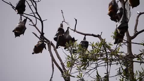 Wild tree bats Corona