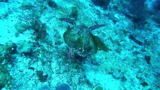 Underwater turtle swimming