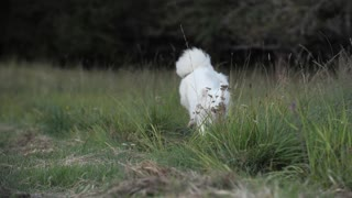so cute White Dog Playing on the Grass