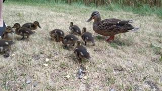 Feast of the ducklings, feeding ducks