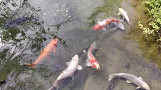 Pond with fish, Montreal, Botanical garden