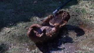 Pangolin bath