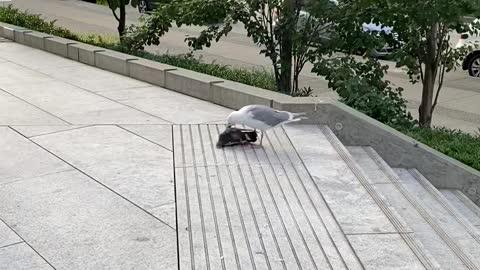 Seagull kills and eats pigeon