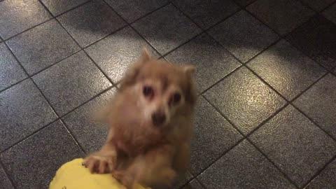 Milo the Chihuahua Wants a Jalapeño