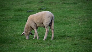 Sheep Livestock Grass